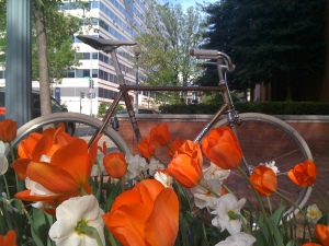 My bike in front of some red and white tulips.